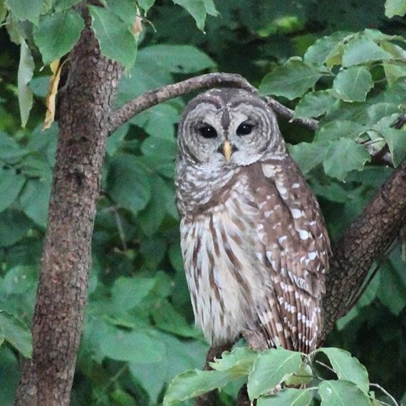 owl_570.jpg